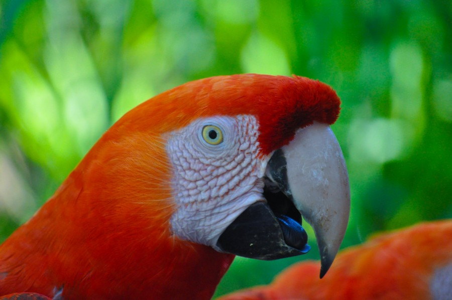 Ara chloropterus, bird, feathers, colorful, wildlife, nature, mammal, animal, tropical, red macaw, macaw aliverde, parrots, wildlife