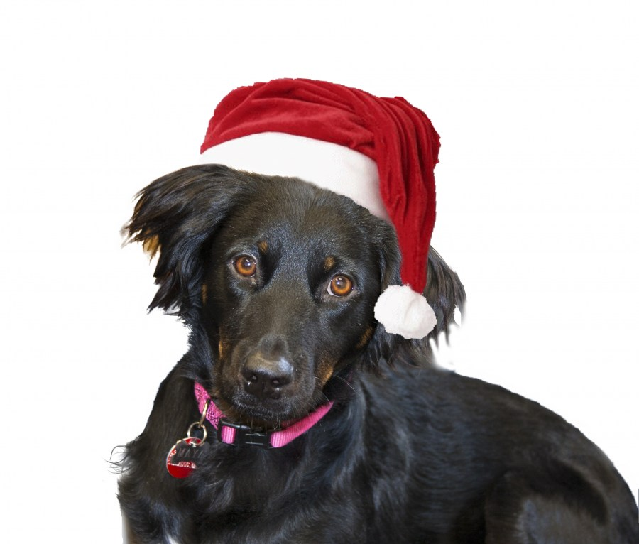 dog, animal, white background, Christmas, hat, black, animal, concept, Christmas, holiday, holidays, religion, mascot, celebrate, happiness, hat, red,