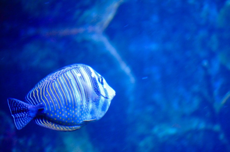 fish, fish, colorful, blue, iridescent, water, fish tank, aquarium, Argentine sea, Amazonian fish, texture, vivid color, swimming, animal, wild fish, exotic species