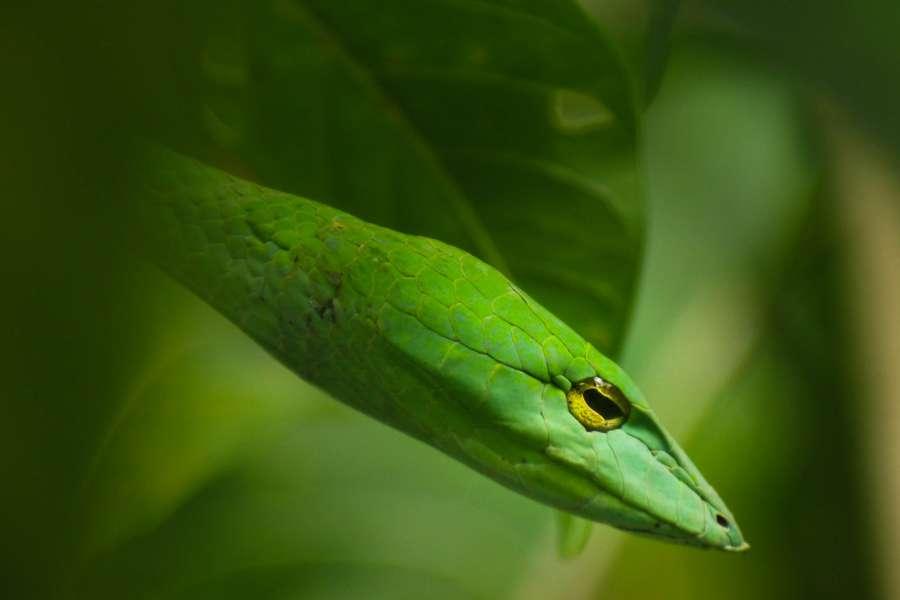 snake, green, animal, reptile, close-up, exterior, wild, head, nature,