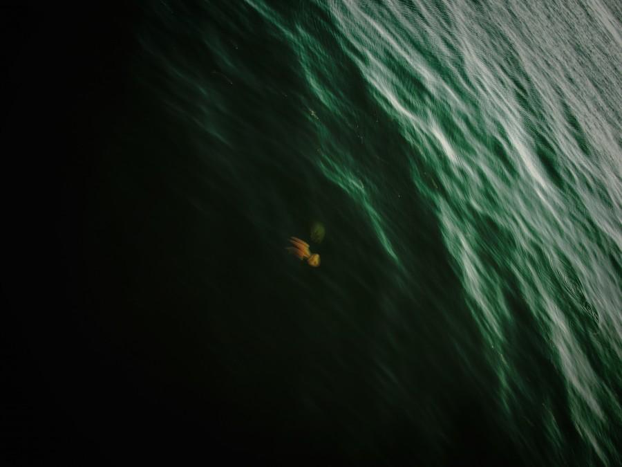 squid, sea, marine life, wildlife, ocean, seen from above, one animal,