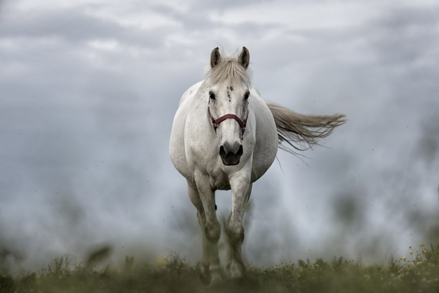 Image of white horse front free photo 100009946 horse white animal close up nature one foreground altavistaventures Image collections