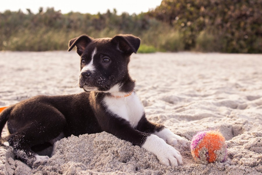 puppy, dog, animal, beach ball, summer, play, activity,