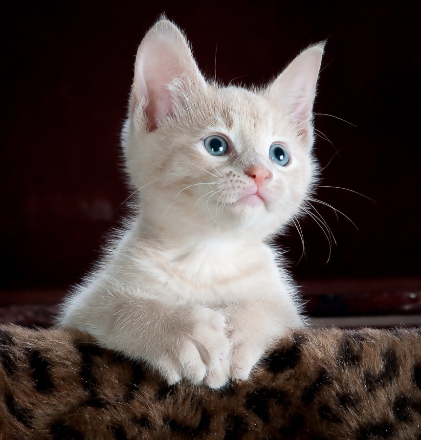Small cat, kitten, white, blue eyes, mustaches, cat look, background board, Kitten, cat baby, young animals, aggressive, hunt, cat, Skins, lovely, animals, carnivores, cute, fluffy, Hair, baby, mammal, paw, pets, playful, portrait, Thoroughbred, curious, wanted, free photos, Free images, domestic cat, animal head, portrait, Domestic Cat, Cute, Kitten, Animal, Photography, Looking At Camera, Domestic Animals, Young Animal, Color, Day, Horizontal, Indoors, Pets, No People, Animal Eye, Animal Body Part, Animal Themes, An animal, adorable, cute, pet, furry, mane, Colors, hairs, stripes, feline, pussycat, micifuz, michino, madrileño, felido, gatuno, Hd wallpapers, 4k wallpapers, 4k resolution, screensaver