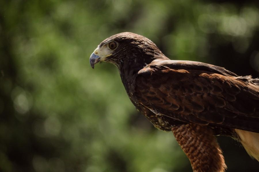 bird, bird of prey, hunter, eagle, hawk, wild animal, nature, wildlife, flight, Parabuteo unicinctus, profile, feathers, talons, beak, wings, falconry, low-flying, buzzard Harris, peuco, Harris Hawk, mixed hawk, cinnamon hawk, hawk rabiblanco