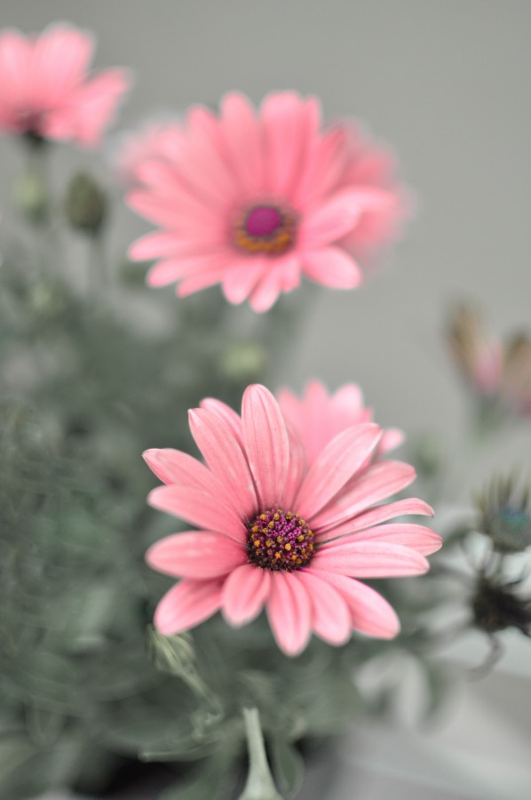 flowers, spring, garden, plant, earth, flower, bud, bud, bud, daisy, lilac, nature, green, leaves