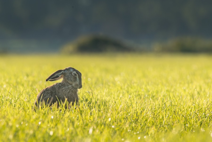hare, rabbit, field, animal, outdoor, one,