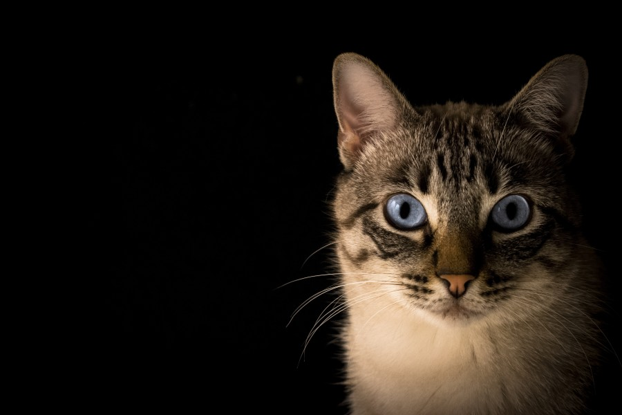Image Of Close Up Of Cat For Wallpaper Free Photo