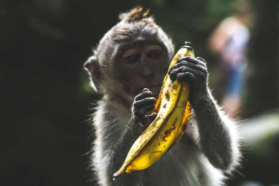 ape, animal, banana, food, ape, eating, wild, banana, outside, one, food, fruit