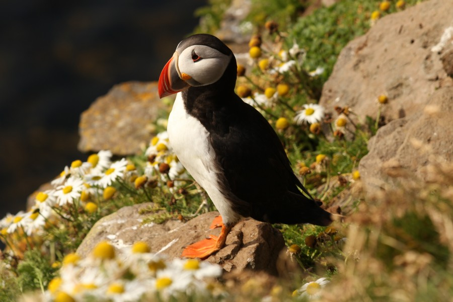 free images  Atlantic puffin