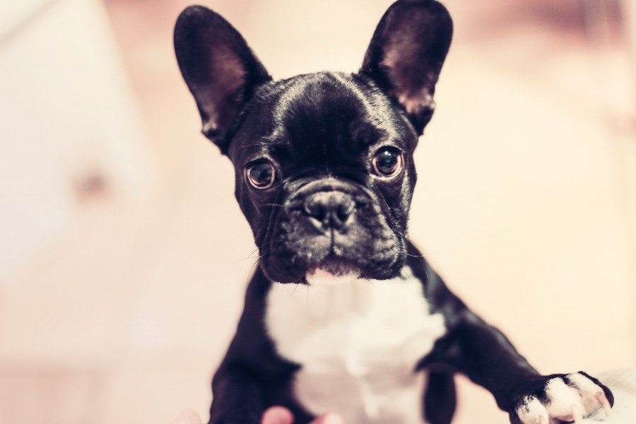 dog, animal, pet, black, french bulldog, bulldog, head, eyes,