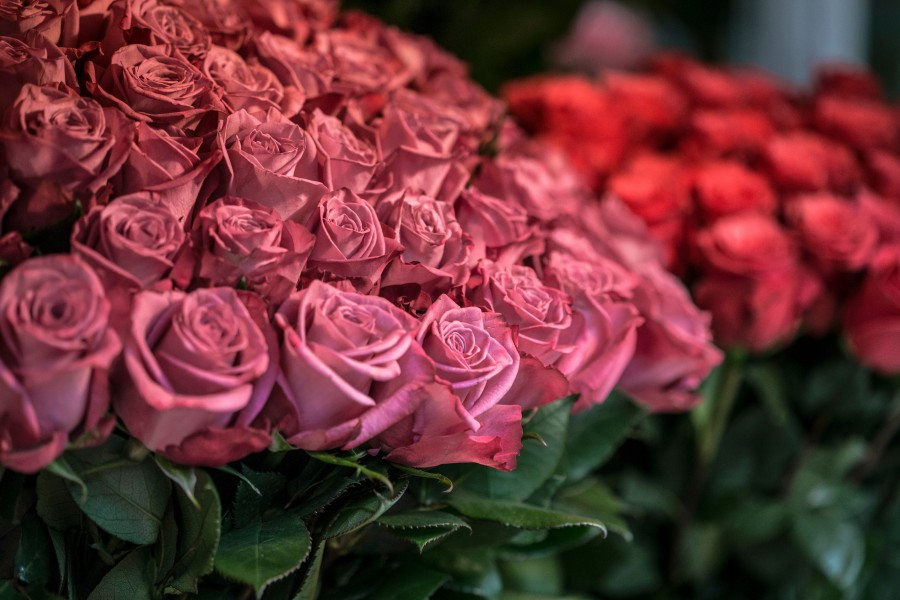 free images  Roses