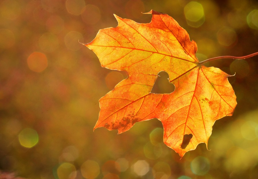 heart, honey, leaf, autumn, maple, bokeh, nature, dried leaf, shape, symbol, wallpaper hd, sepia tone, weather, season