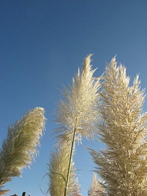 free images  plant, plants, summer, spring, plumerillo, front v