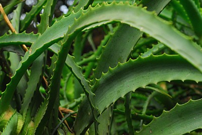 free images  plant nature front view, aloe vera, healing, heali