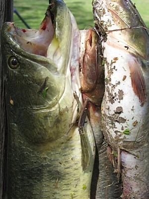 fish, fish, fish, wolf fish, tarucha, fishing, spo