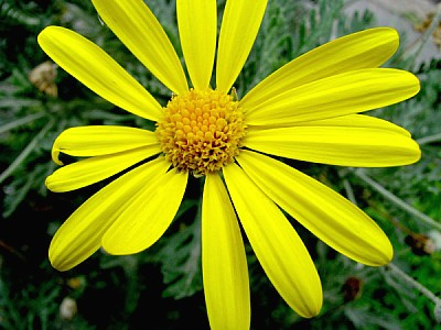 free images  flower, flowers, nature, daisy, front view, petal,