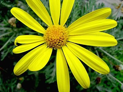 flower, flowers, nature, daisy, front view, petal,