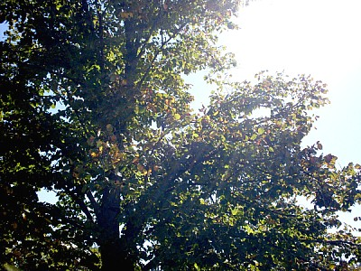 free images  tree, nature, leaf, leaves, front view, sun, sunri