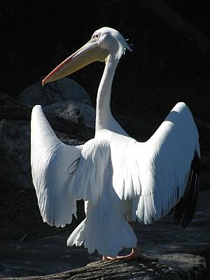 free images  pelican, bird, birds, african, africa, wild, avian