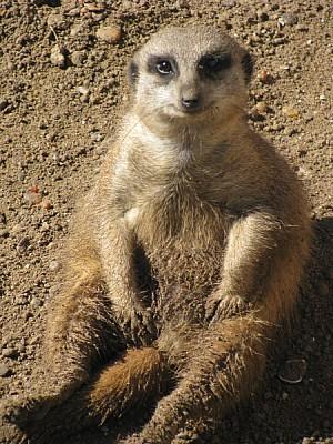 animal, meerkat, watching, watching, watching, wat