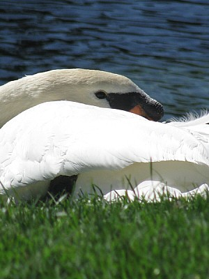 free images  animal, bird, white, beak, swan, close, head, fron
