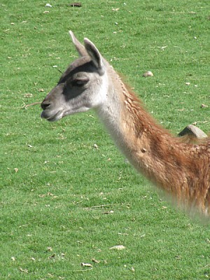 free images  animal, llama, wild, Andean, front view, exterior,