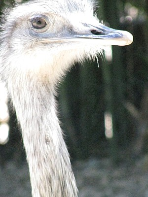 animal, bird, ostrich, rhea, front view, head, clo