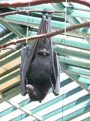 free images  animal, animals, bat, bats, rodent, wing, wings, f