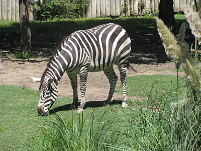 free images  animal, zebra, stripe, striped, front view, white
