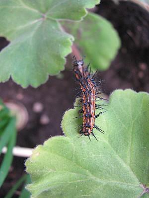 aninal, insect, nature, larva, caterpillar, color,