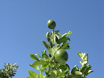 free images  lemon, lemon, lemon, agriculture, front view, clos