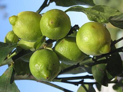 lemon, lemon, lemon, agriculture, front view, clos
