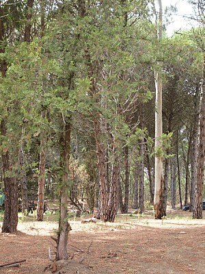 free images  forest, woods, pine, pine, front view, tree, trees