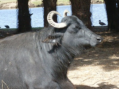 free images  animal, animals, cebu, horn, horns, black, close-u