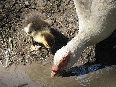 free images  Mom duck drinking water with baby duckling