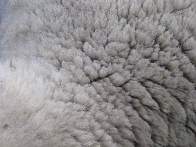 free images  Wool Sheep Texture
