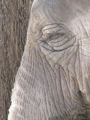free images  Elephant head texture