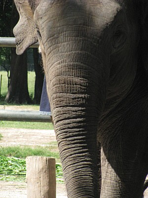 free images  Elephant Front Dress up at zoo