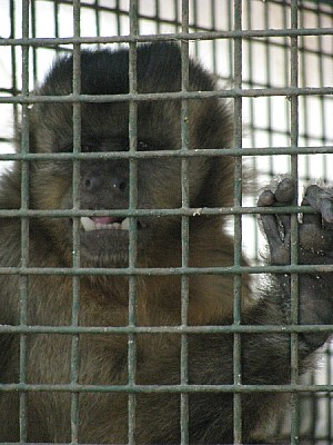 free images  Monkey in a cage