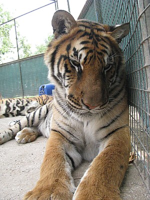 free images  animal, animals, wildlife, tiger, tigers, cat, fel
