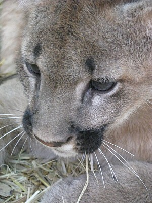 free images  animal, animals, wildlife, cougar, cub, cubs, baby