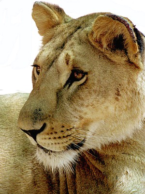 animal, animals, wildlife, lion, lioness, cat, fel