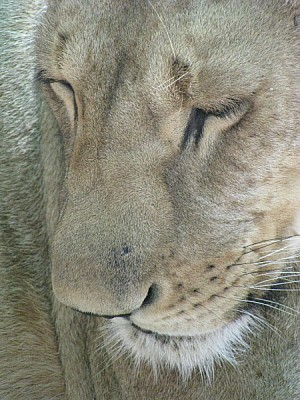 free images  animal, animals, wildlife, lion, lioness, cat, fel