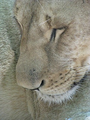 free images  animal, animals, wildlife, lion, lioness, cat, fel