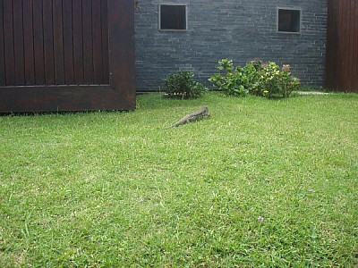 animal, animals, wild, wild, outdoor, iguana, rept