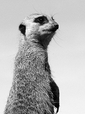 animal, meerkat, watching, watching, watching, wat