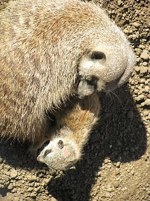free images  animal, meerkat, watching, watching, watching, wat