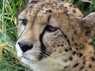 free images  animal, cheetah, cat, wild, closeup, head, calm, n