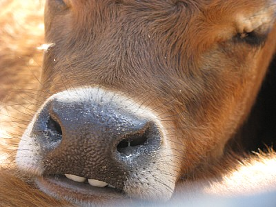 free images  animal, animals, cow, cows, calf, veal, front view